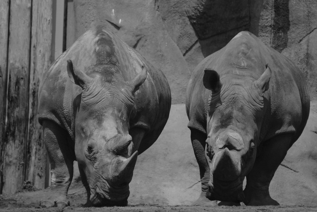 t.sol rhinos