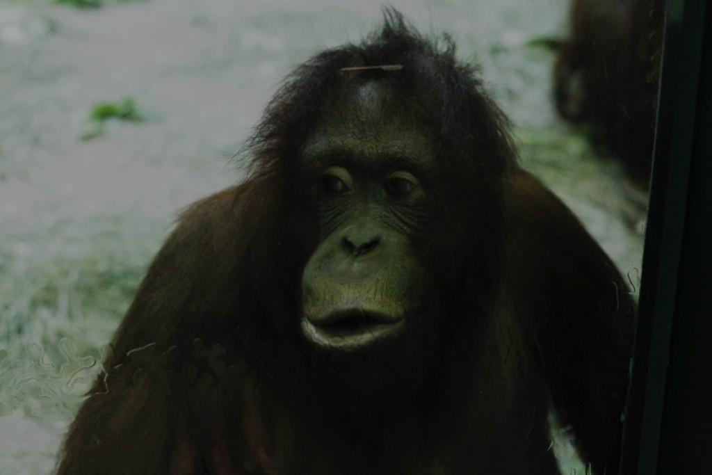 t.sol orangutan