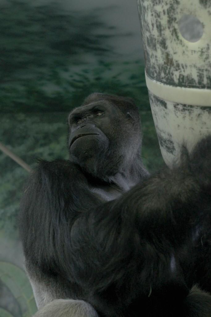 t.sol gorilla