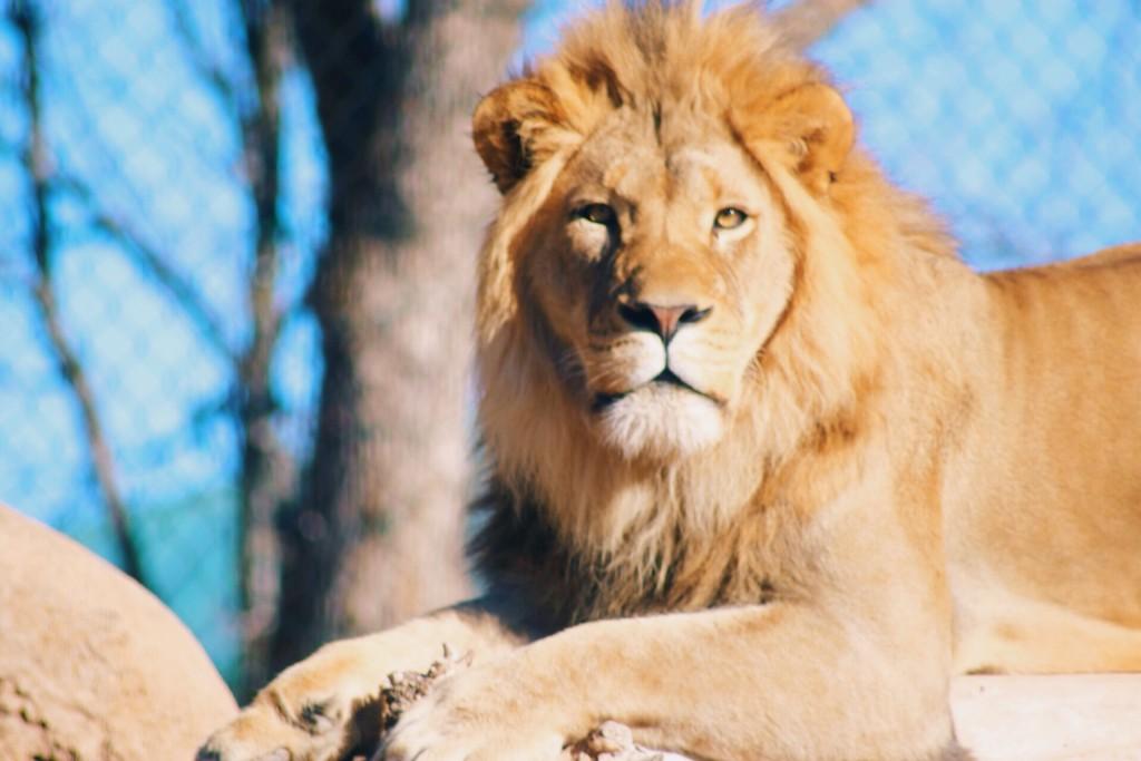 t.sol lion