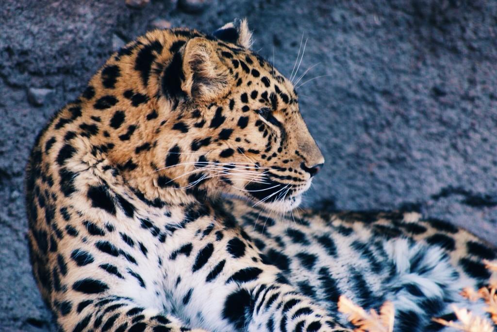 t.sol leopard