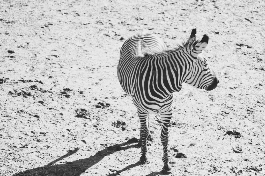 t.sol bandw zebra
