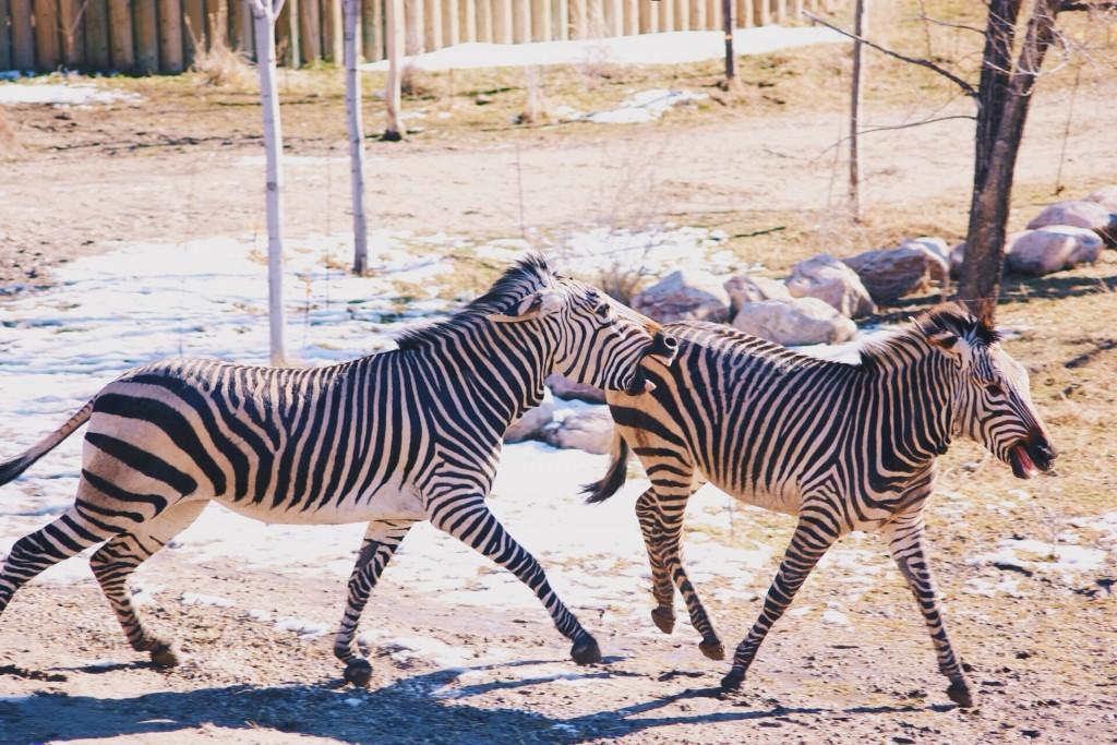 t.sol zebras