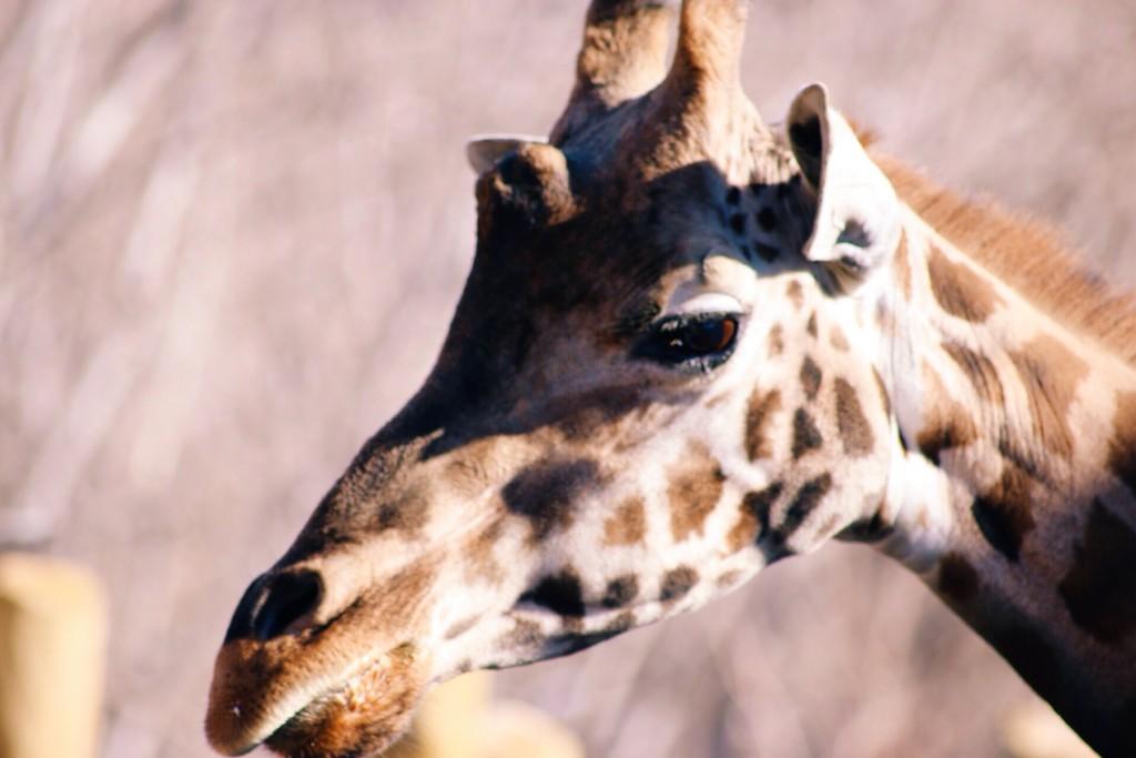 t.sol giraffe